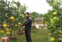 Kỹ thuật trồng bưởi Diễn cảnh từ khâu lấy giống đến khi cho lên chậu cho cây nhiều quả,với giá thành cao trong ngày tết